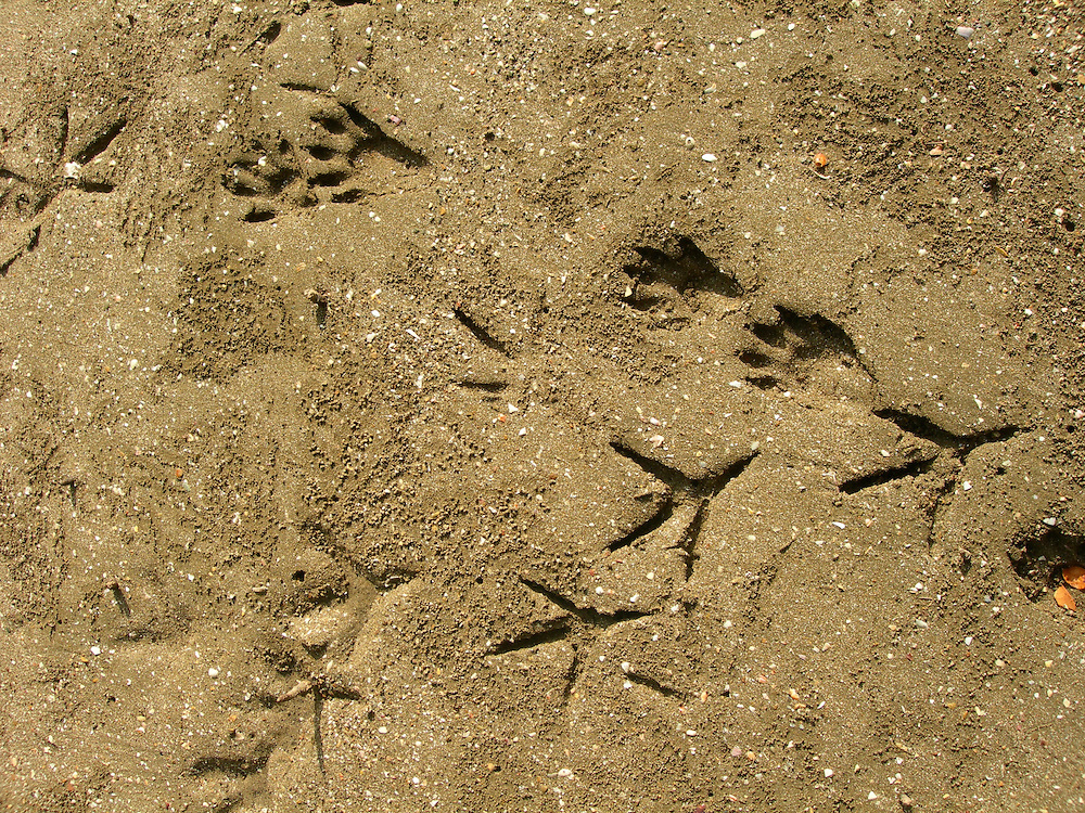 EN&gt; racoon and shorebird tracks | <br />