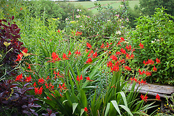 Crocosmia 'Lucifer' near bench at Glebe Cottage with honeysuckle in the background