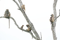 Brian Braun Photography - African Baboon Family in Tree in Botswana.