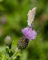 HALFWEG - insecten op de golfbaan ,Bruin blauwtje aricia plebeius Amsterdamse Golf Club. (AGC)  . Insecteninventarisatie  COPYRIGHT KOEN SUYK