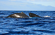 Pacific Humpback Whale off the coast of Maui Hawaii in the Central Pacific Ocean