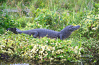 Yacare caiman (Caiman yacare), Corrientes, Argentina. Is a species of caiman found in central South America, including northeastern Argentina, Uruguay eastern Bolivia, central/south-west Brazil, and the rivers of Paraguay. Image by Andres Morya