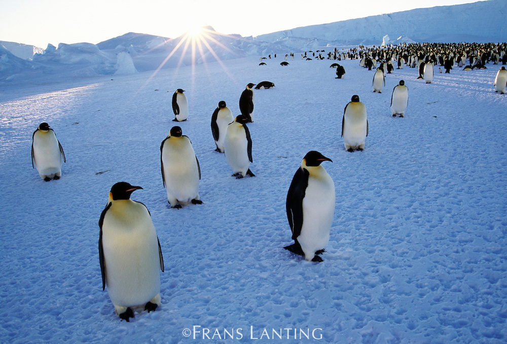 Emperor penguins and setting sun, Aptenodytes forsteri, Weddell Sea, Antarctica