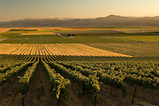 Idaho. Canyon County. Sawtooth Winery vineyard with the Owyhee, Canyonlands,  Mountains beyond at sunset.