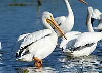 Group of American white pelicans (Pelecanus erythrorhynchos), Lake Chapala, Jalisco, Mexico