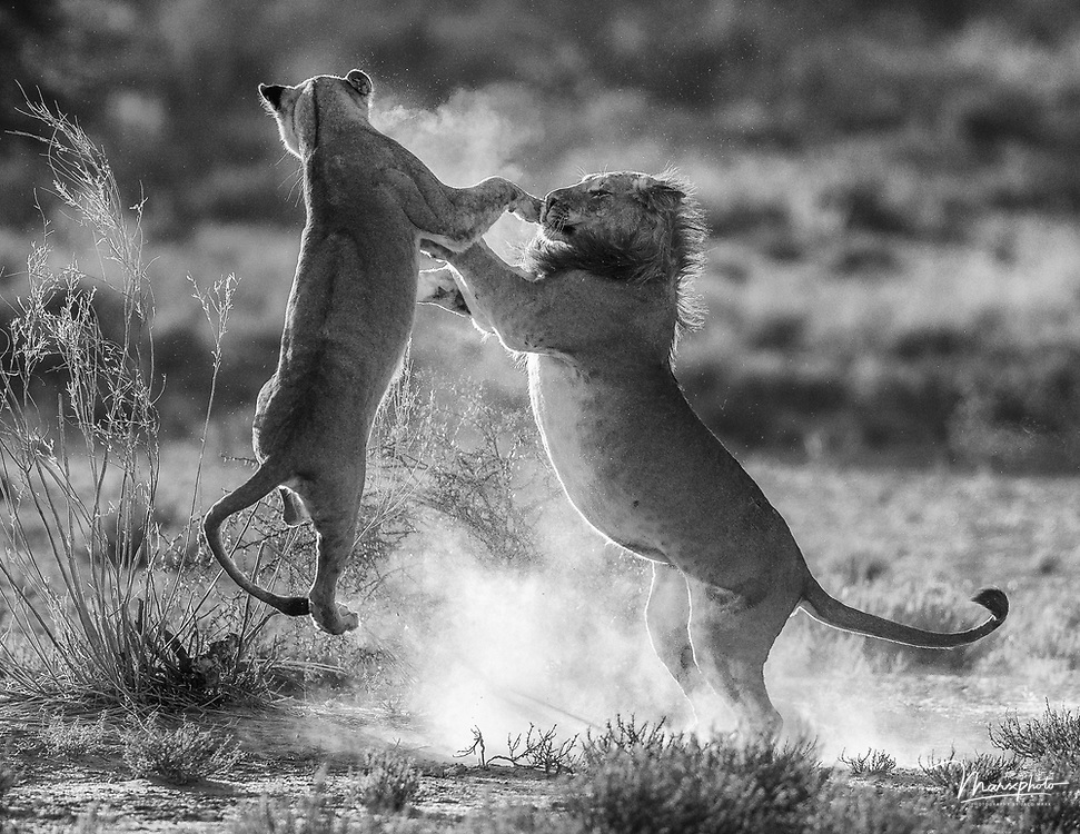 Two beautiful lions photographed in the Kgalagadi Transfrontier Park in South Africa/Botswana.  Taken in early morning light I photographed these lions against the sun with some bright risen dust.  The lions just made a Springbok kill an hour earlier and the remains of the kill visible in the vegetation.  The social interaction in this particular case was playful between these two lions.  The lioness leaped and got herself airborne foe a split-second. I did post-processing Adobe Lightroom 6.  This included cropping, dust removal and straightening of the horizon.  Profile correction was done. Black and white values were restored to a natural scene.  Global exposure had to be increased by 0.5  and shadows increased by 30%. Contrast increased by 20% and vibrance increased by 10%.. Global clarity and sharpening were increased by 10%. Monochrome converted images from African fauna and flora.