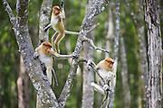 Proboscis Monkey<br /> Nasalis larvatus<br /> Juveniles<br /> Sabah, Malaysia