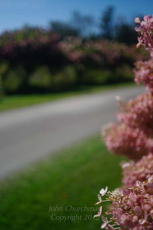 pink hydrangeas, drive