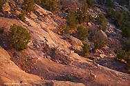 Group of desert bighorn sheep in the Colorado National Monument near Fruita, Colorado, USA