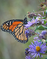 Monarch Butterfly Feeding on a Purple Wildflower. Image taken with a Nikon D2xs camera and 80-400 mm telephoto zoom lens (ISO 400, 400 mm, f/8, 1/60 sec).