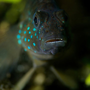 Brackish water goby at Lake Kakaban in Indonesian Borneo