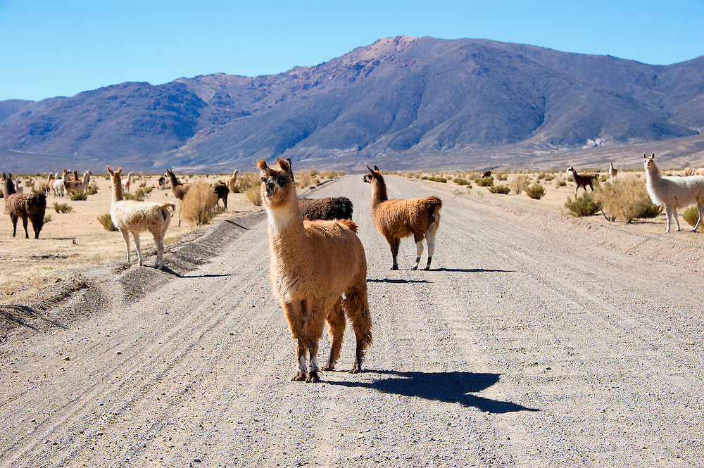 The llama (/ˈlɑːmə/; Spanish: [ˈʎama] locally: [ˈʝama] or [ˈʒama]) (Lama glama) is a domesticated South American camelid, widely used as a meat and pack animal by Andean cultures since pre-Hispanic times.<br /> The height of a full-grown, full-size llama is 1.7 to 1.8 m (5.5 to 6.0 ft) tall at the top of the head, and can weigh between 130 to 200 kilograms (280 to 450 lb). At birth, a baby llama (called a cria) can weigh between 9 and 14 kilograms (20 and 30 lb). Llamas can live for a period of about 20&ndash;30 years depending on how well they are taken care of.[citation needed] Llamas are very social animals and live with other llamas as a herd. The wool produced by a llama is very soft and lanolin-free. Llamas are intelligent and can learn simple tasks after a few repetitions. When using a pack, llamas can carry about 25% to 30% of their body weight for 8&ndash;13 km (5&ndash;8 miles).<br /> The name llama (in the past also spelled 'lama' or 'glama') was adopted by European settlers from native Peruvians.<br /> Llamas appear to have originated from the central plains of North America about 40 million years ago. They migrated to South America about 3 million years ago. By the end of the last ice age (10,000&ndash;12,000 years ago), camelids were extinct in North America.[1] As of 2007, there were over 7 million llamas and alpacas in South America and, due to importation from South America in the late 20th century, there are now over 158,000 llamas and 100,000 alpacas in the United States and Canada.[source: wikipedia]