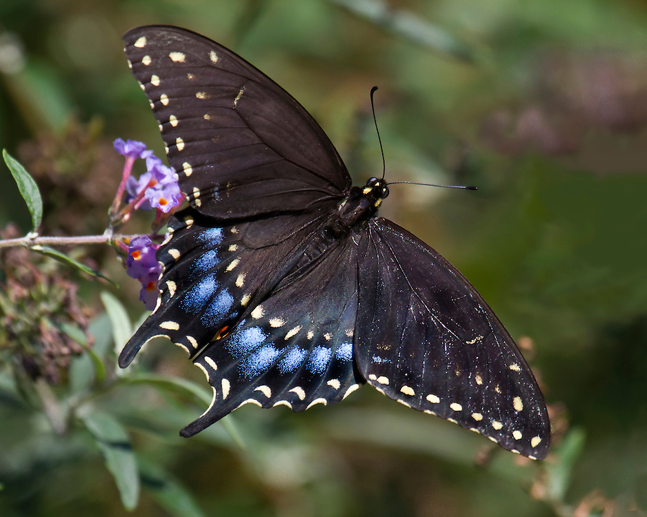 A jet black swallow tailed butterfly, probably at the Shakespeare Gardens.