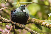 The tui displays its beautiful iridescent feathers under the canopy of a New Zealand forest.