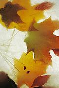 Fallen Autumn leaves in ice.