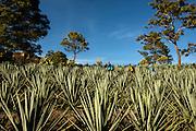 Matt Erbentraut, Casey Coffman &amp; Alvaro Gutierrez - Raicilla Plantation<br /> Mascota, Mexico