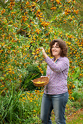 Harvesting crab apples from Malus × zumi 'Golden Hornet' into a basket