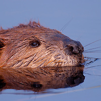 American Beaver swimming in the pond behind the Wonder Lake Ranger Station in Denali National Park Alaska.