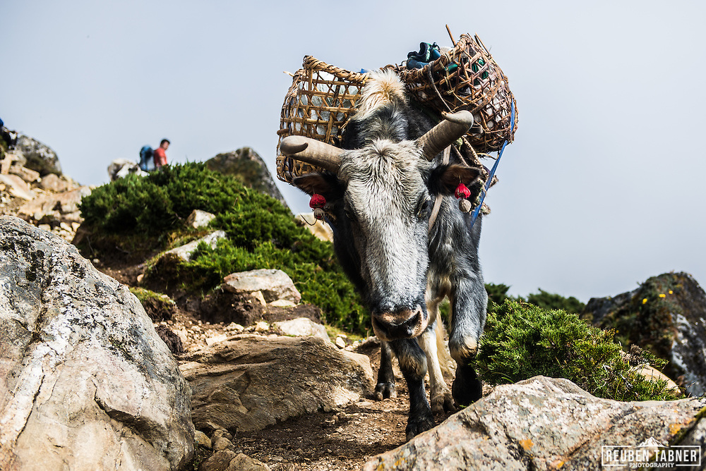 A Yak walks down the mountain, from Machermo (4470m), heading towards Dole (4090m) Nepal.