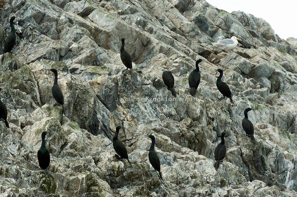 Pelagic cormorants (phalacrocorax pelagicus) on a rocky bluff near Glacier Bay National Park, Alaska.
