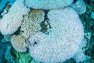 Climate Change Bleach Corals