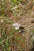 White alpine saxifrage flowerhead Photographed on Elfer Mountain, Stubai Valley, Tyrol, Austria in September