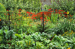 The hot horders in the kitchen garden  at West Dean Gardens, Chichester . Chard, crocosmia and helenium