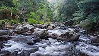 Wild river flowing through lush temperate rainforest in St Columba Falls State Reserve, Tasmania, Australia