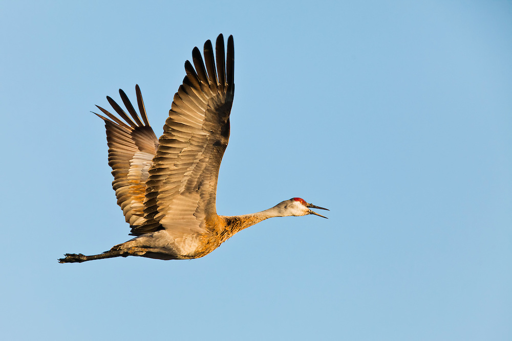 Sandhill Crane (Grus canadensis) in flight heading inland after a day of foraging on the Susitna Flats State Game Refuge near Beluga in Southcentral Alaska during the spring migration. Evening.