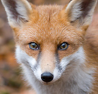 Close up view of Fox face with focus on eyes
