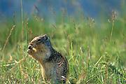 Columbian ground squirrel (Urocitellus columbianus) <br />Banff National Park<br />Alberta<br />Canada