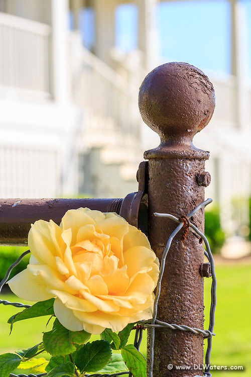Yellow rose and old metal fence in Manteo North Carolina.