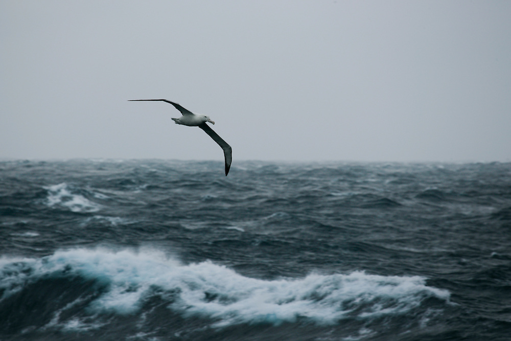 Feb. 1, 2007. Southern Ocean. A Wandering Albatross (Diomedea exulans), seen here flying across the Southern Ocean, has a wingspan of up to 115 inches.