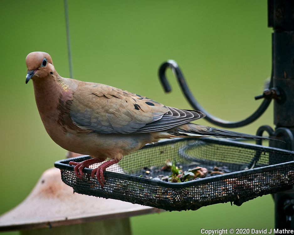 Mourning Dove. Image taken with a Nikon D5 camera and 600 mm f/4 VR lens (ISO 560, 600 mm, f/5.6, 1/1250 sec)