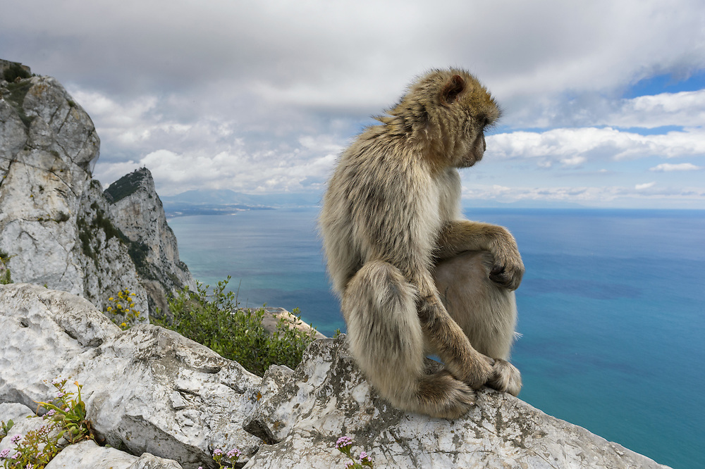 Barbary Macaque (Macaca sylvanus)<br /> &copy; Jaime Rojo / The Living Med