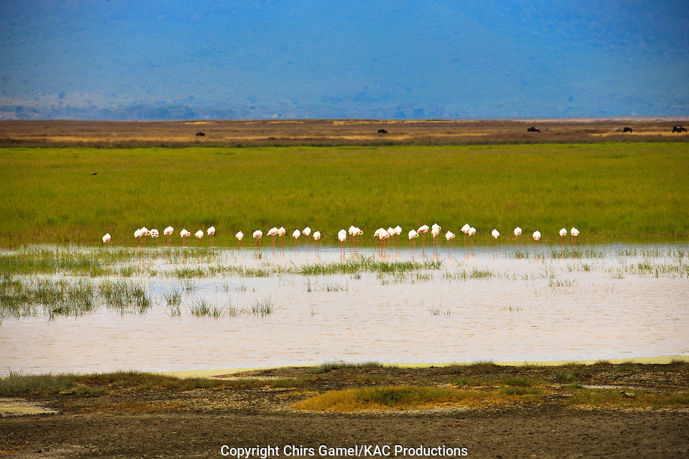 Flock of Lesser Flamingos (Phoenicopterus mino) standing in the wetlands, Ngorongoro Conservation Area, Tanzania, Africa; near threatened species; filter feeder; socail behavior