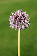 WILD LEEK Allium ampeloprasum (Liliaceae) Height to 2m<br /> Robust and upright bulbous perennial with a rounded stem. Grows in grassy places near the sea. FLOWERS are 6-8mm long and purplish, with yellow anthers; borne in spherical heads, up to 9cm across (Jun-Aug). Numerous bulbils may be present. FRUITS are capsules. LEAVES are flat, narrow, up to 50cm long, and waxy with finely toothed margins. STATUS-Rare and restricted to coastal districts in SW Britain and W Ireland.