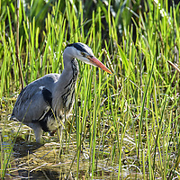 A Grey Heron fishing in a pond