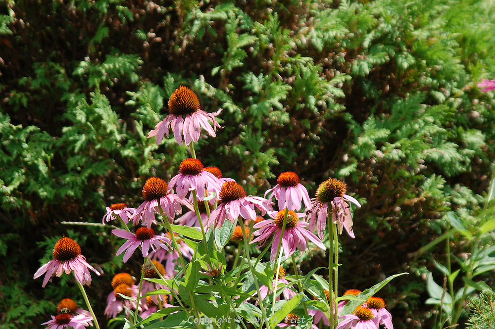 A small stand of cone flowers in the meditation garden at Kripalu, stockbridge, MA