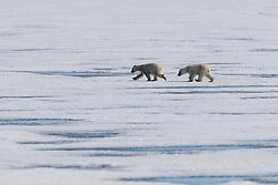 Polar bear cubs (Ursus maritimus) walking on the ice ,Svalbard, Norway