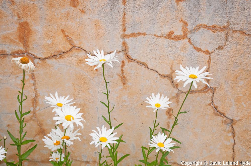 Daisies, Adobe Wall, Cracked Concrete, Carmel Mission, Mission San Carlos Borromeo del río Carmelo, Carmel-by-the-Sea, California Missions