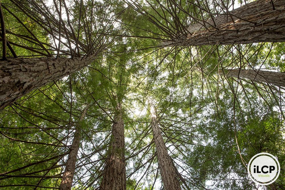 Coast Redwood (Sequoia sempervirens) trees, Santa Cruz Mountains, California