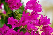 Pink flowers of a Bougainvillea bush close up On the Greek Island of Cephalonia, Ionian Sea, Greece
