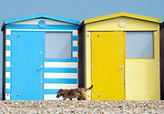 © Licensed to London News Pictures. 14/04/2015. Seaford, UK. A dog walks past colourful beach huts. People in the early morning sea mist and sunshine in Seaford today 14th April 2015. Today is expected to be a very warm day across Britain. . . Photo credit : Stephen Simpson/LNP
