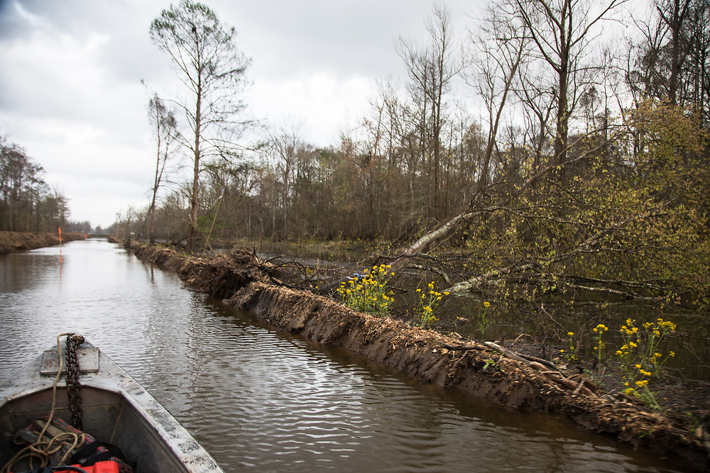 Tree toppled over durring the instalation of on the Bayou Bridge pipeline on a spoil bank r along the route of the Bayou Bridge Pipeline. in the he Atchafalaya Basin. A federal judge issued a temporary injunction that stopped the work on the pipeline on Febuary 24, 2017.