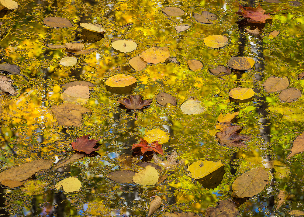 Autumn color refects in the pool of fallen leaves to produce a lovely intimate image with lots of color and visual interest.  Acadia NP, Maine