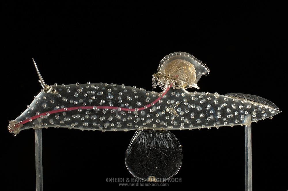 NLD, Niederlande: Carinaria Mediterranean (Carinaria lamarckii), Meeresschnecke, dieses Glasmodell stammt aus dem Werk der naturwissenschaftlichen Glaskünstler Leopold Blaschka (1822-1895) und Sohn Rudolf Blaschka (1857-1939). Zwischen 1863 und 1890 entstanden in der Dresdner Werkstatt Tausende Glasmodelle wirbelloser Meerestiere, die ihren Weg in Museen und Universitäten der ganzen Welt fanden. Diese Nachbildungen verblüffen bis heute, denn sie sind morphologisch fehlerfrei und halten naturwissenschaftlichen Betrachtungen bis ins Detail stand - die perfekte Verschmelzung von Kunst und Naturwissenschaft. Die Blaschkas hatten keine Lehrlinge und es gibt keine weiteren Nachfahren. Vater und Sohn haben das Geheimnis ihrer einzigartigen Technik mit ins Grab genommen, Blaschka-Sammlung, Universitätsmuseum, Utrecht | NLD, Niederlande: Carinaria Mediterranean (Carinaria lamarckii), Sea Slug, this glass model originated from the work of the scientific glass artists Leopold Blaschka (1822-1895) and his son Rudolf Blaschka (1857-1939). Between 1863 and 1890 thousands of glass models of invertebrates sea animals developed in the workshop in Dresden, which found their way in museums and universities of the whole world. These reproductions amaze until today, because they are morphologically exact and withstand scientific examinations in detail - the perfect fusion of art and natural science. The Blaschkas didn?t have apprentices and it gives no further descendants. Father and son took the secret of their inimitable technology also in the grave, Blaschka-Collection, University Museum, Utrecht |