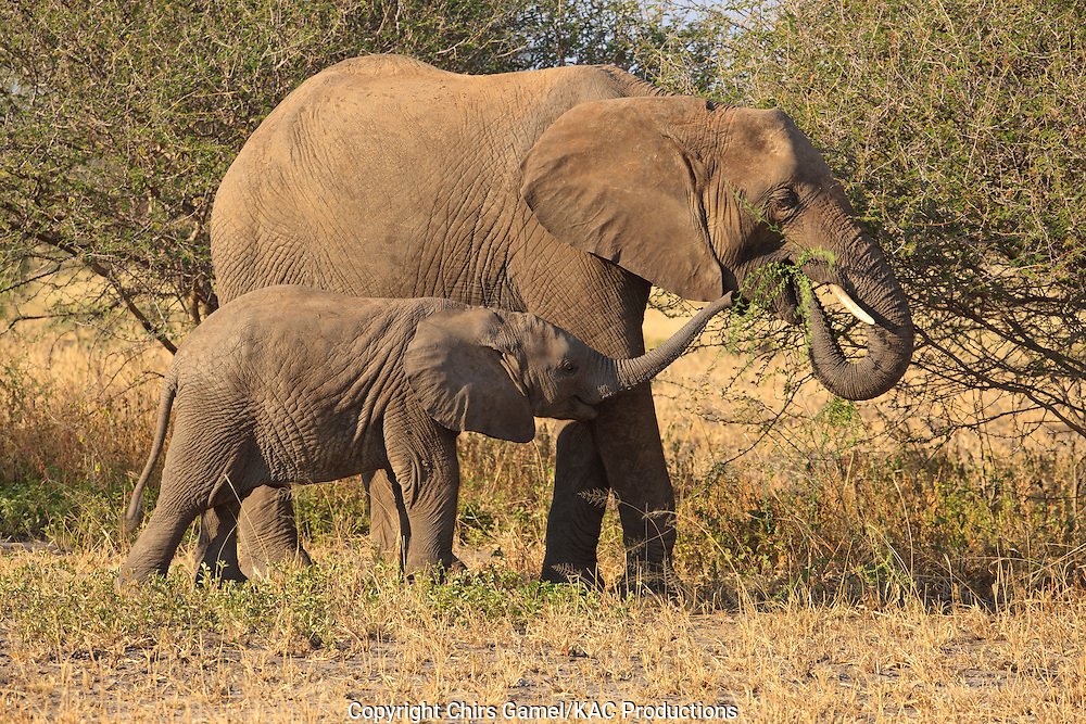 Young elephant with mother.