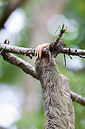 Close up of a Brown-throated Sloth (Bradypus variegatus) claw holding on to a branch in the canopy of the jungle at Corcovado National Park, Costa Rica