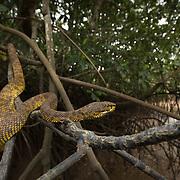 Mangrove Pit Viper (Trimeresurus purpureomaculatus) adult female in Krabi, Thailand